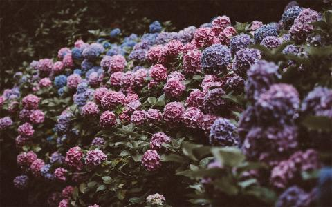 五颜六色的八仙花清新摄影