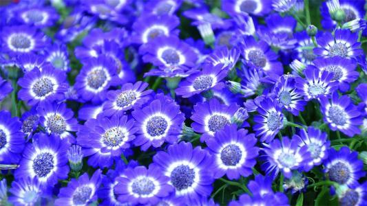 瓜叶菊花卉摄影