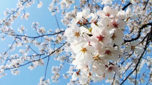 幽香艳丽的樱花