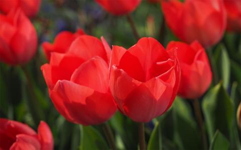 五颜六色的郁金香