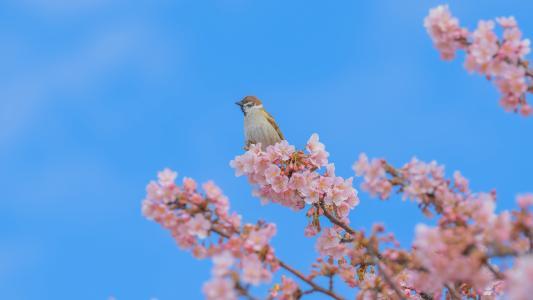 春天盛开的樱花美景