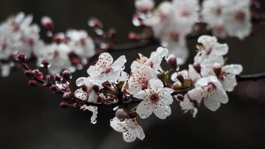春天的樱花美景