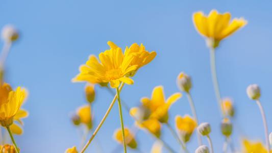 黄金菊花海