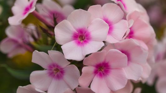 艳丽夺目的福禄考花