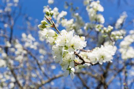 绚烂的白色樱花风景