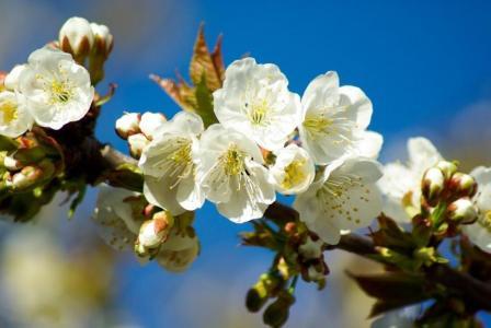 绚丽盛开的白色樱花