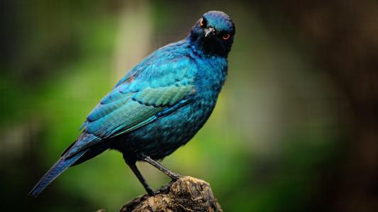 漂亮的蓝耳丽椋鸟