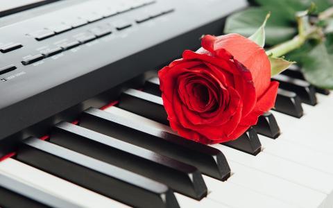 钢琴上的玫瑰花摄影写真