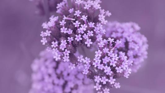 马鞭草紫色浪漫迷人