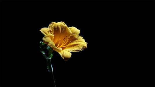 美丽而鲜艳的金娃娃萱草