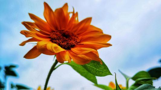 抖音很火的向日葵