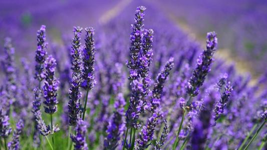 紫色薰衣草浪漫花海