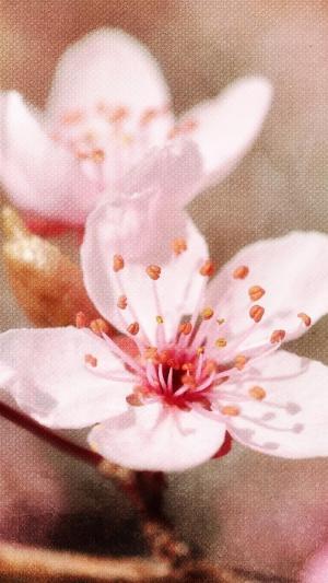 唯美浪漫盛开的樱花