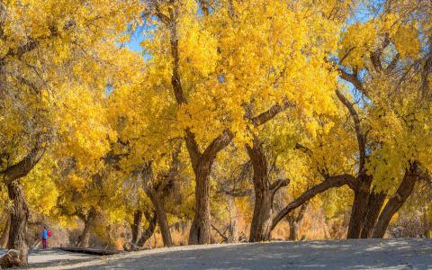 美丽迷人的喀什葛尔古城胡杨风光