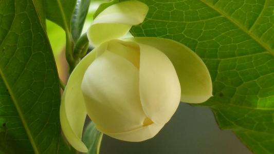 清新淡雅的夜合花