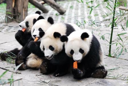 呆萌的大熊猫