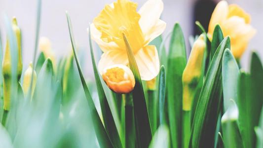 唯美迷人的黄色郁金香花海