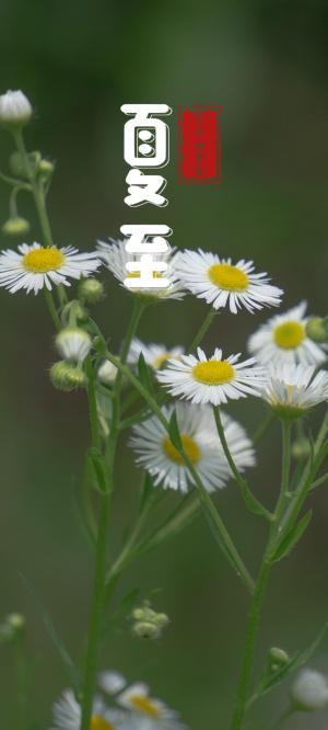 夏至节气雏菊锁屏背景