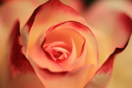 微距下的玫瑰