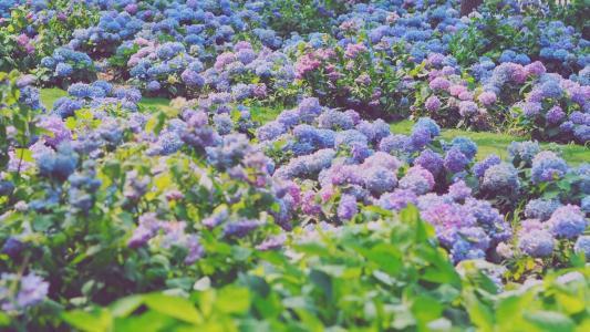 花团锦簇的绣球花