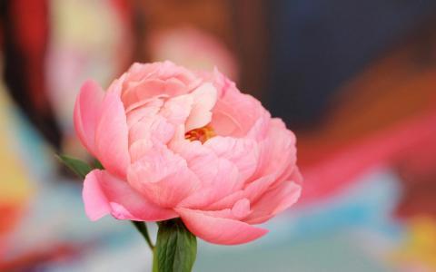优雅富贵的牡丹花