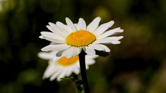 漂亮的玛格丽特花