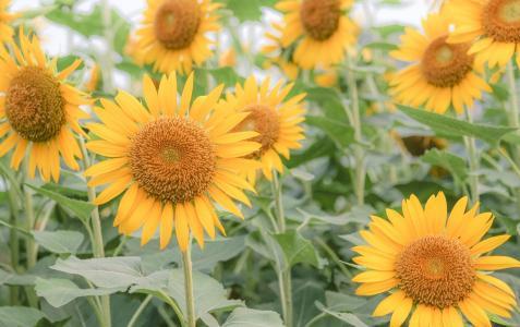 向阳而开的向日葵