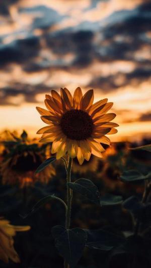 黄昏日落下的向日葵
