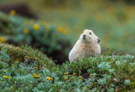 可爱的高原鼠兔